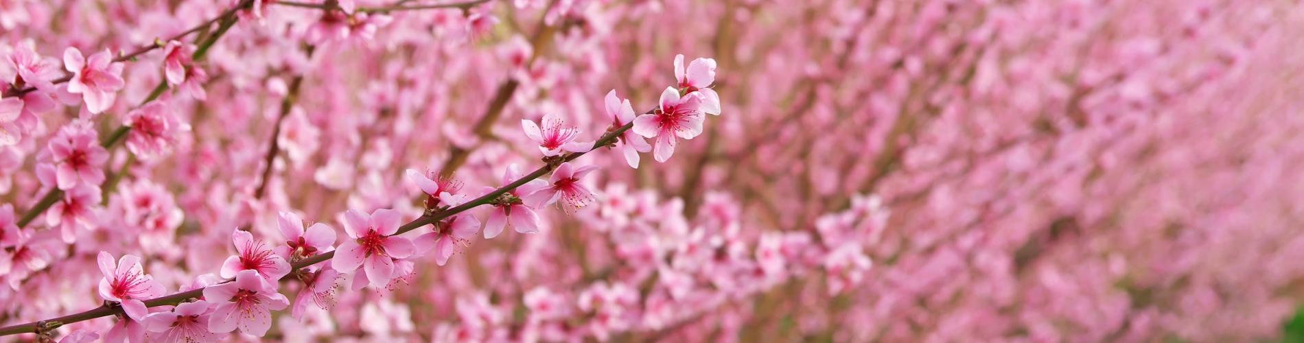 fiori-pe